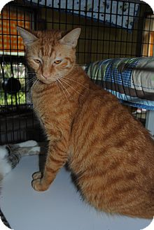 Domestic Shorthair Cat for adoption in Bay City, Michigan - Sebastian
