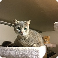 American Shorthair Cat for adoption in Medford, New York - Savannah
