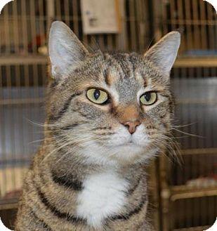 Domestic Shorthair Cat for adoption in Ashtabula, Ohio - Missy