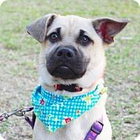 Adopt A Pet :: Barid - San Ramon, CA