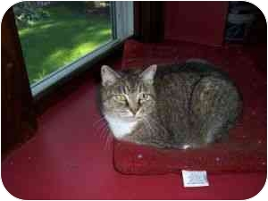 Domestic Shorthair Cat for adoption in North Plainfield, New Jersey - Chipmunk