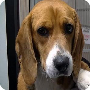 Beagle Dog for adoption in Greencastle, North Carolina - Georigia