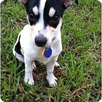 Adopt A Pet :: Olivia in Houston - Houston, TX