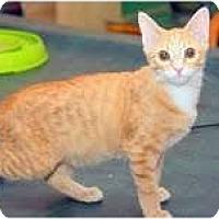 Adopt A Pet :: Abigail (Bunny-like Bobtail) - Arlington, VA