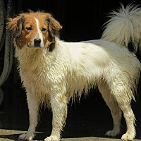 Collie Mix Dog for adoption in Poland, Indiana - Mercy