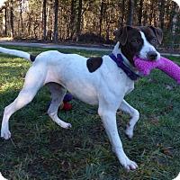 Adopt A Pet :: Ava - Mocksville, NC