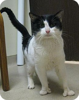 Domestic Shorthair Cat for adoption in Gary, Indiana - Domino