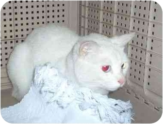 Domestic Shorthair Cat for adoption in Nashville, Tennessee - Kristy