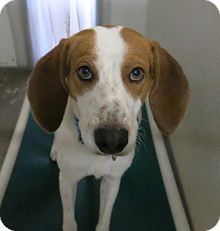 Hound (Unknown Type) Mix Dog for adoption in Geneseo, Illinois - Bueller