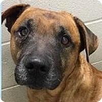 Adopt A Pet :: Bronco - Springdale, AR
