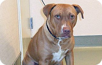 Pit Bull Terrier Mix Dog for adoption in Wildomar, California - Admiral