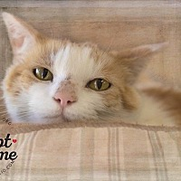 Adopt A Pet :: Apricot - Belton, MO