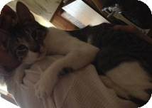 American Shorthair Cat for adoption in Weatherford, Texas - Slim Jim