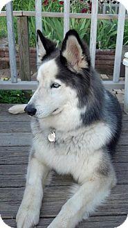 Husky Mix Dog for adoption in East McKeesport, Pennsylvania - Nico