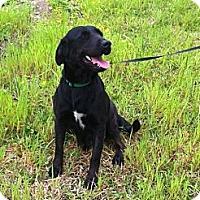 Labrador Retriever Mix Dog for adoption in Baton Rouge, Louisiana - Mamma Dog