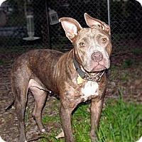 Adopt A Pet :: Nikki - Chattanooga, TN