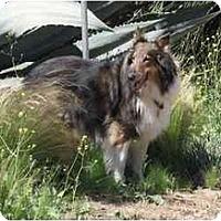 Adopt A Pet :: Charger - Trabuco Canyon, CA