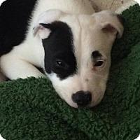 Adopt A Pet :: Petey - Huntington Beach, CA