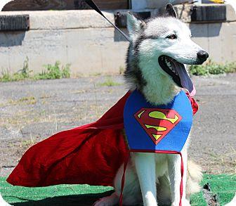 Husky/Alaskan Malamute Mix Dog for adoption in North Haledon, New Jersey - Russ