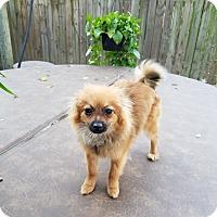 Adopt A Pet :: Shiva - conroe, TX