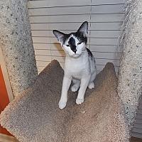 Adopt A Pet :: Calista - Tampa, FL