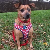 Adopt A Pet :: Daisy - Davie, FL
