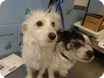 Terrier (Unknown Type, Small) Mix Dog for adoption in San Bernardino, California - URGENT on 4/11 SAN BERNARDINO