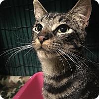 Adopt A Pet :: Pebbles - East Brunswick, NJ