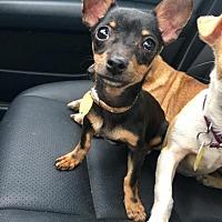 Adopt A Pet :: Rosita - Pittsburgh, PA