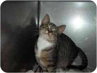 Domestic Shorthair Cat for adoption in Little Neck, New York - TABITHA