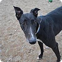 Adopt A Pet :: Dash (Dine N Dash) - Chagrin Falls, OH