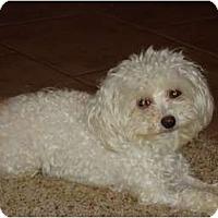 Adopt A Pet :: Haley - Arlington, TX