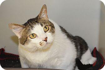 Domestic Shorthair Cat for adoption in Lincoln, Nebraska - Diesel