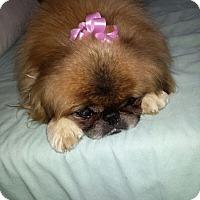 Adopt A Pet :: Scarlett - Shawnee Mission, KS