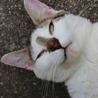 Domestic Shorthair Cat for adoption in Central Islip, New York - Dio