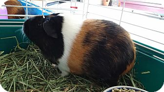 Guinea Pig for adoption in La Grange Park, Illinois - Lori