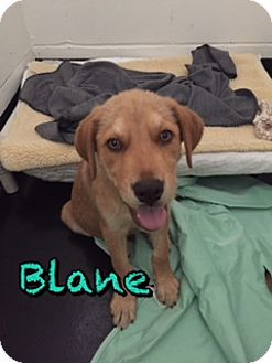 Labrador Retriever/Golden Retriever Mix Dog for adoption in Barnwell, South Carolina - Blane