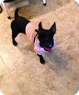 Chihuahua/Terrier (Unknown Type, Small) Mix Dog for adoption in North Brunswick, New Jersey - Layla