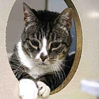 Domestic Mediumhair Cat for adoption in Hampton Bays, New York - RIO