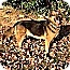 Photo 4 - German Shepherd Dog/Dachshund Mix Dog for adoption in Battleboro, Vermont - Lucas