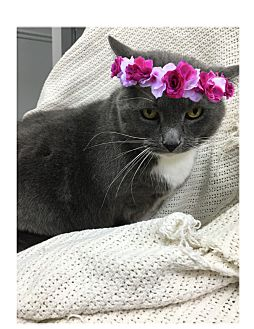 Domestic Shorthair Cat for adoption in Paducah, Kentucky - Tippy Toes