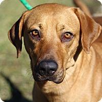 Adopt A Pet :: Laura - SOUTHINGTON, CT