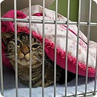 Domestic Shorthair Cat for adoption in Muskegon, Michigan - Cleo