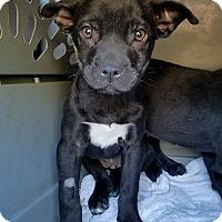 Adopt A Pet :: O'Shea - Gainesville, FL