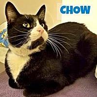 Adopt A Pet :: Chow - Herndon, VA