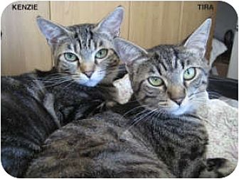 Domestic Shorthair Cat for adoption in Long Beach, California - Kenzie and Tira