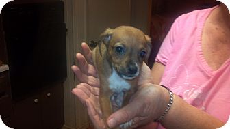 Chihuahua Mix Puppy for adoption in Hazard, Kentucky - Almond