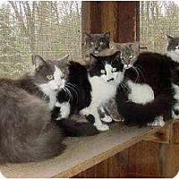 Domestic Mediumhair Cat for adoption in Trexlertown, Pennsylvania - Beautiful Barn Kitties