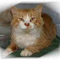 Adopt A Pet :: Butterscotch - Montgomery, IL
