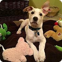 Adopt A Pet :: Bash - Austin, TX